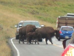 I did not expect to see nearly as many buffalo as we saw. Often, traffic was stopped by herds crossing the street.